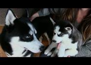 Siberian Husky Pup Meets His Dad