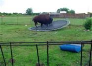 Buffalo on a Trampoline