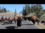 Bison at Yellowstone, Up Close and Personal