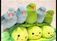Five Parrotlets, All in a Row