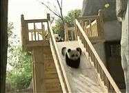 Baby Pandas Play on a Slide