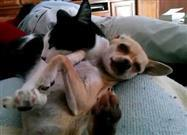 Cat Gives Chihuahua a Little Love