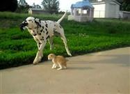 Tiny Kitten Makes Friends with Dalmatian