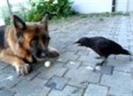 German Shepherd and Crow Play Ball