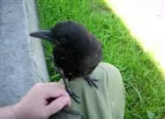 "Young Crow ""Claims"" Human"