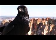 Raven Chats with Human at Grand Canyon