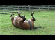 Horse Rolling in the Deep… Green Grass