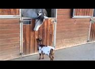 Baby Goat Playing 'Head-Butt' with Horse