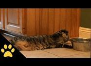 Cat Drinks Water Lying Down