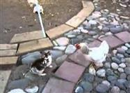 Rabbits Learn: Chickens Rule the Barnyard