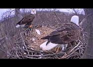 Eagle Cam: Eagles Swap Places After Eaglet Hatches