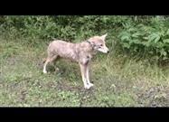 Bicyclists Encounter Bobcat and Coyote