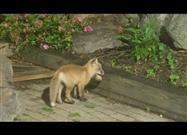 Fox Pups Have Fun Playing Ball