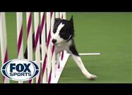 Como Proteger Tu Perro Atlético de una Lesión