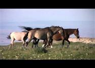 Wild Horses of Pryor Mountain, Montana