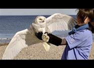 Snowy Owl Rescue and Release