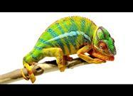 Amazing - Beautiful Chameleon Footage