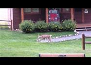 Bunny and Fawn Playing on the Lawn