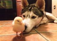 Husky and Baby Chick Are Fast Friends