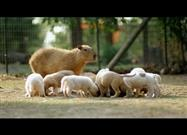 Capybara Is Foster Mom to Puppies