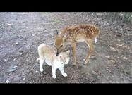 Baby Deer Makes Friends with Cat
