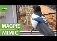 Magpie Mimics Child's Laughter to Perfection