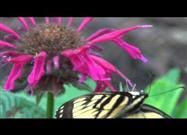 Butterfly Visits a Flower