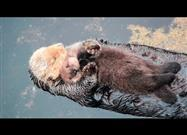 Wild Otter Mom Cuddles Her Newborn