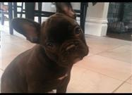French Bulldog Puppy Surprise