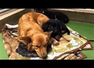 Dog Escapes Kennel to Comfort Crying Puppies