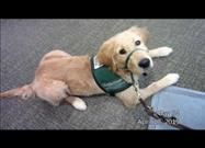A Puppy Named Lombard in Training as a Guide Dog