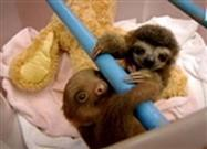 The Swaddling of the Baby Sloths