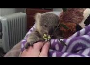 Home Video of Baby Koala, Growing Up