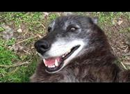 Wolf Fully Recovered and Loving Life