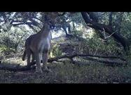Mountain Lion and Her Kittens