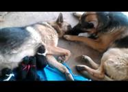 Dad Comforts Mama Dog After the Puppies Arrive