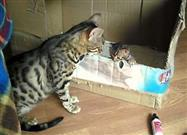 Bengal Cat Talks to Her Kitten