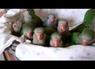 Baby Quaker Parrots 'Step Up' for Lunch