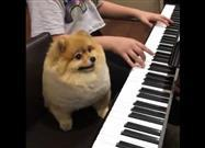 Pomeranian Aspires to Play the Piano