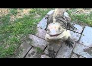 Iguana Named Buddy Thinks He's a Dog