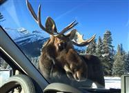 Couple Videos a Moose Licking Salt Off Their Car