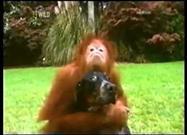 Orangután Adopta a un Perro