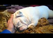 Sleepy Bulldog Doesn't Want to Wake Up