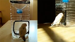 Lovebird Loves His Own Personal Shower
