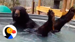 Rescued Bear Named Cody in His Own Pool