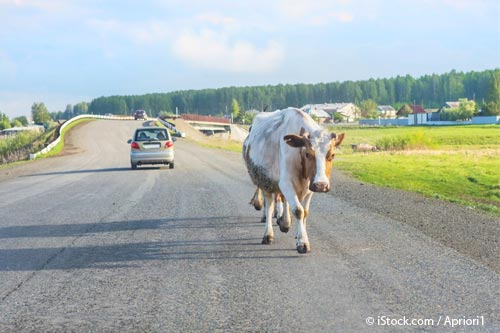Vaca Caminando
