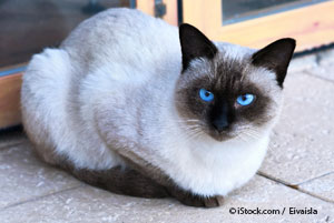 According to Legend, Priests Have Reincarnated Into Birman Cats