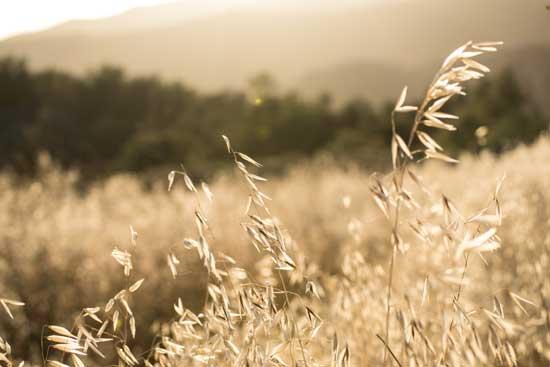 golden cheatgrass