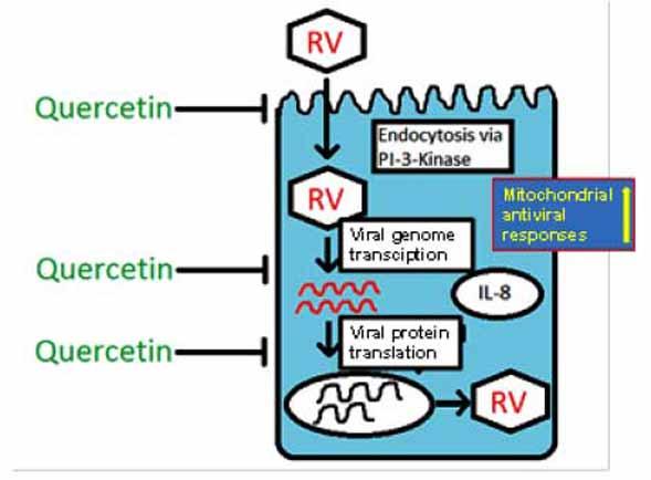 mecanismos antivirales de la quercetina