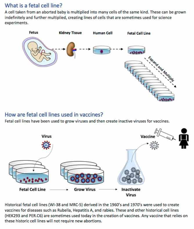 fetal cell line